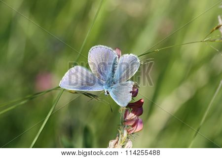 Butterfly: Silver-studded Blue