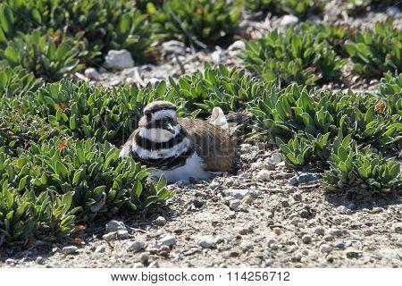 Killdeer Nesting on the ground