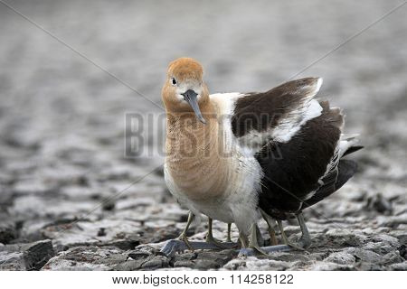 American Avocet Female protecting her young hatchlings
