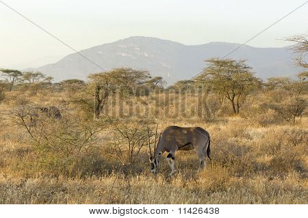 Pair Of Northern Gemsboks