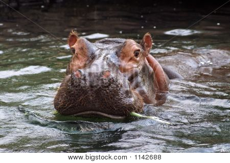 Hippopotamus At The St. Louis Zoo - Missouri