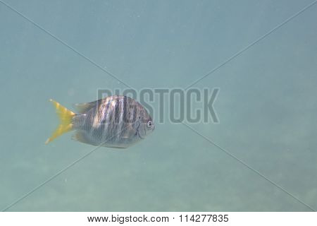 Abudefduf notatus is a species of damselfish in the family Pomacentridae.