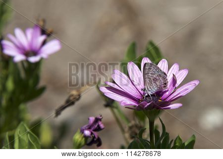 Marine Blue butterfly on purple daisy flower