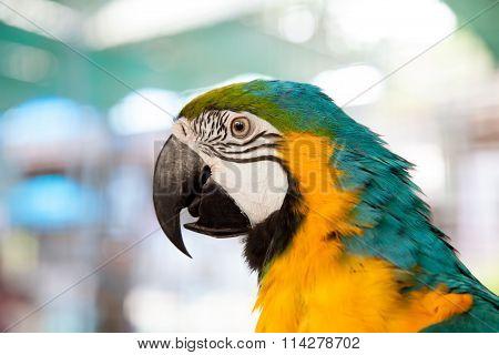 Close Up Of Blue-and-yellow Macaw (ara Ararauna)