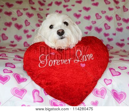 A cute valentines day Pure White puppy dog is holding a red heart. On a Heart background. Love Puppy. Puppy Love. Mans best friend.