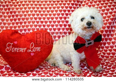 A pure breed Bichon Frise dog poses for Valentines Day photos against a Heart Pattern background. Bichon Frise dogs are known for being loving and are hypoallergenic and do not shed.