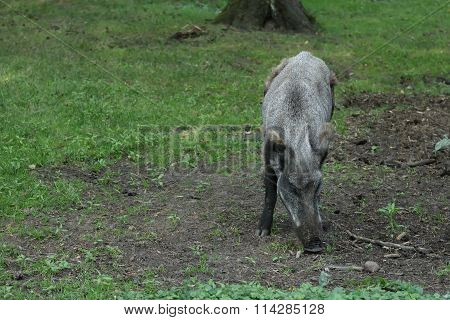 Wild boar or Sus scrofa digging soil for food in summer forest