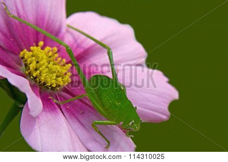 Green Bush Cricket, Katydid, Sitting On Flower