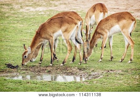 Eld's Deer (panolia Eldii), Group Of Animals