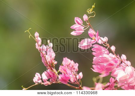 Pink Flower And Green Background Is Beautiful And Have Insect In Flower