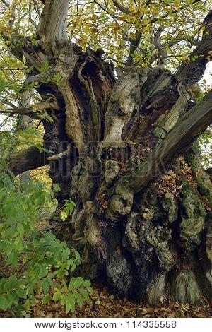The Tortworth Chestnut Tree