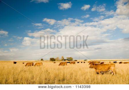 Bovine Milk Cows