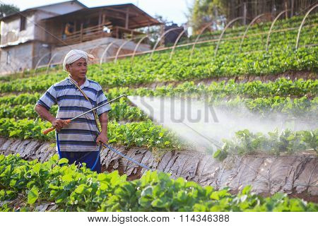 Chiangmai Thailand - Jan 9 : Strawberries Farmer Spraying Organic Moise Water To Young Strawberries