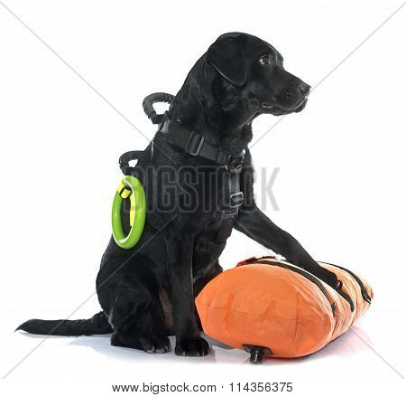 Rescue Labrador Retriever
