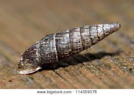 Two toothed door snail (Clausilia bidentata)