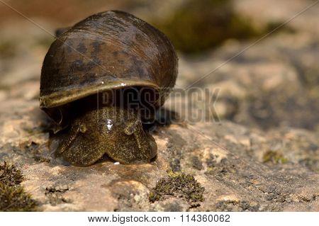 Great pond snail (Lymnaea stagnalis)