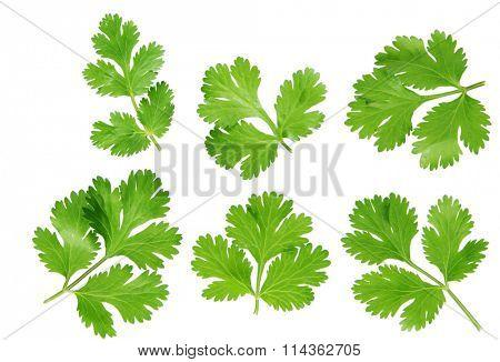set of coriander cilantro leaves isolated on white