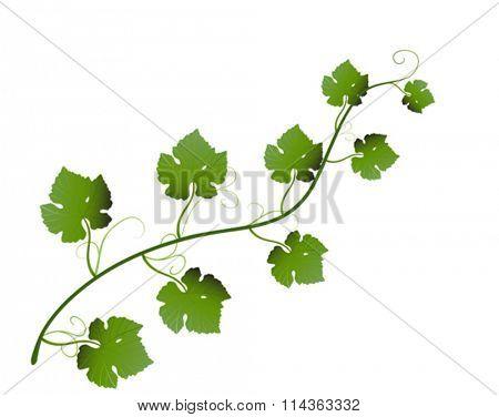 Vector illustration of green grape leaves on vine