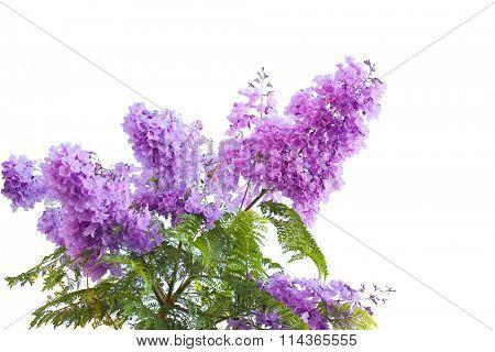 Lavender Blue  jacarandas flower isolated on white