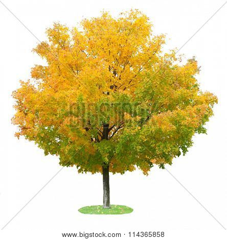 Single maple tree in the autumn isolated on white