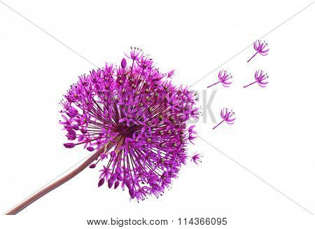 Single purple Alliums Ornamental Onions isolated on white