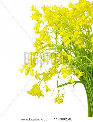 Bundle of rapeseed flowers isolated on white