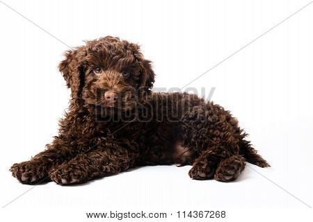 Labradoodle Mini Puppy