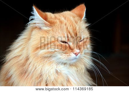 Portrait of a beautiful fluffy ginger cat