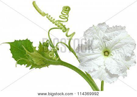 Lagenaria vulgaris white pumpkin flower on the vine
