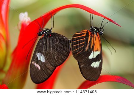 Small postman (Heliconius erato) Mating butterflies
