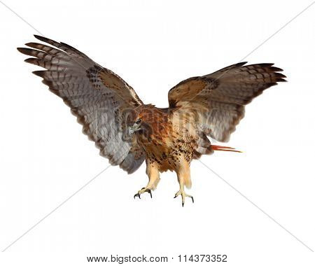 Red-tailed Hawk (Buteo jamaicensis) bird isolated on white background