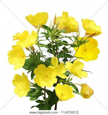 Evening Primrose (Oenothera) flower plant isolated on white background