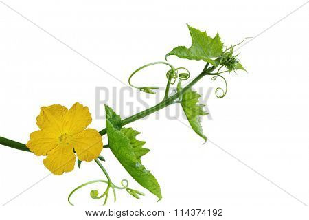Loofah luffa Flower and Leaf isolated on white background