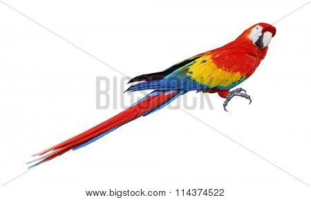Whole parrot bird isolated on white background