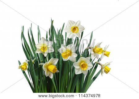 White daffodil narcissus jonquil flower plants isolated