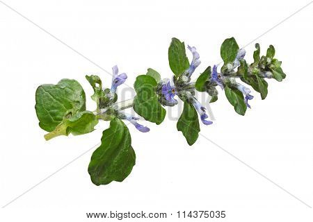 Ajuga reptans blue bugle flower plant isolated on white background