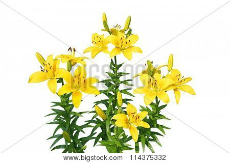Yellow fresh lily flower plant isolated on white background