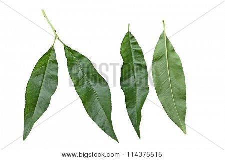 Fresh nectarine leaf isolated on white background