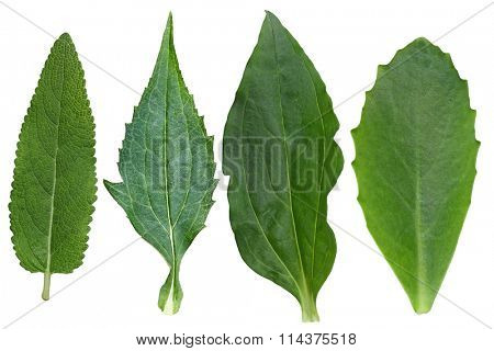 Collection of meadow sage,coneflower, soapwort, autumn joy sedum leaves isolated on white background