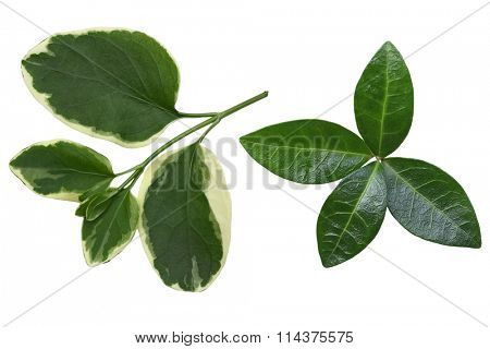 Set of two kinds of vinca leaf isolated on white background