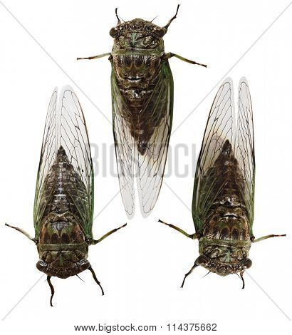 Set of Cicada Insects  bugs isolated on white background