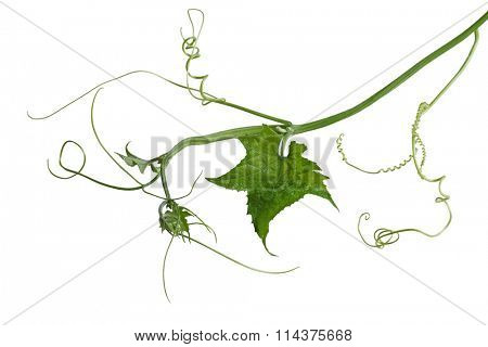 Luffa Loofah Leaf on vine isolated over white background