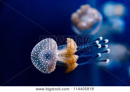 Australian Spotted Jellyfish In The Saltwater