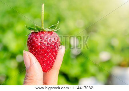 Strawberry Berries Fresh.