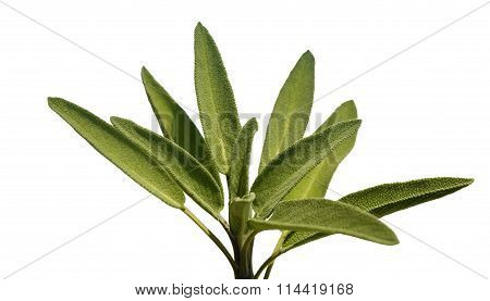 Leaves Sage Tea