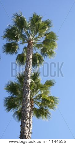 Pair Of Sunny Palm Trees