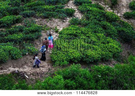 Women in colorful dress walking on the tea plantation