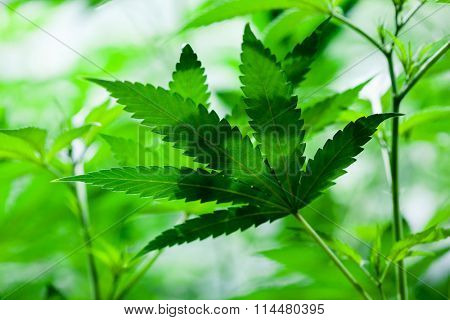 Indoor Marijuana leaf. Shallow depth of field, background style image