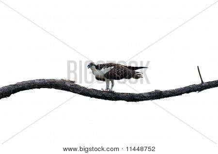 An osprey perched on a branch with overcast sky poster