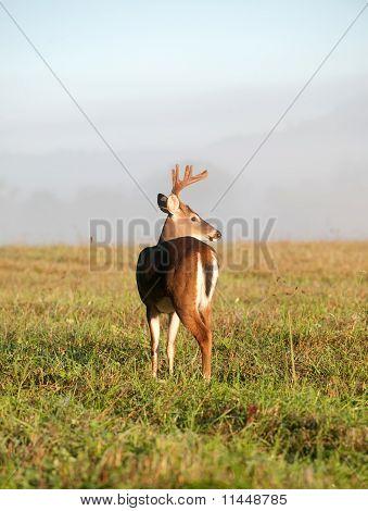 Whitetail deer buck in spring with velvet antlers poster